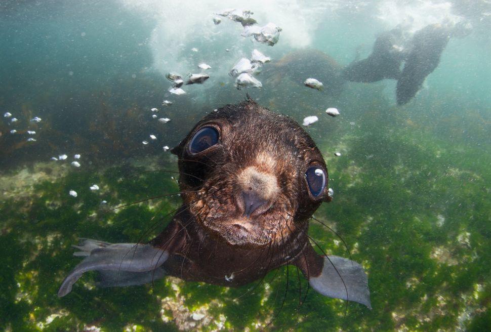 """""""Bering sea. Commander islands. Baby fur seal."""""""