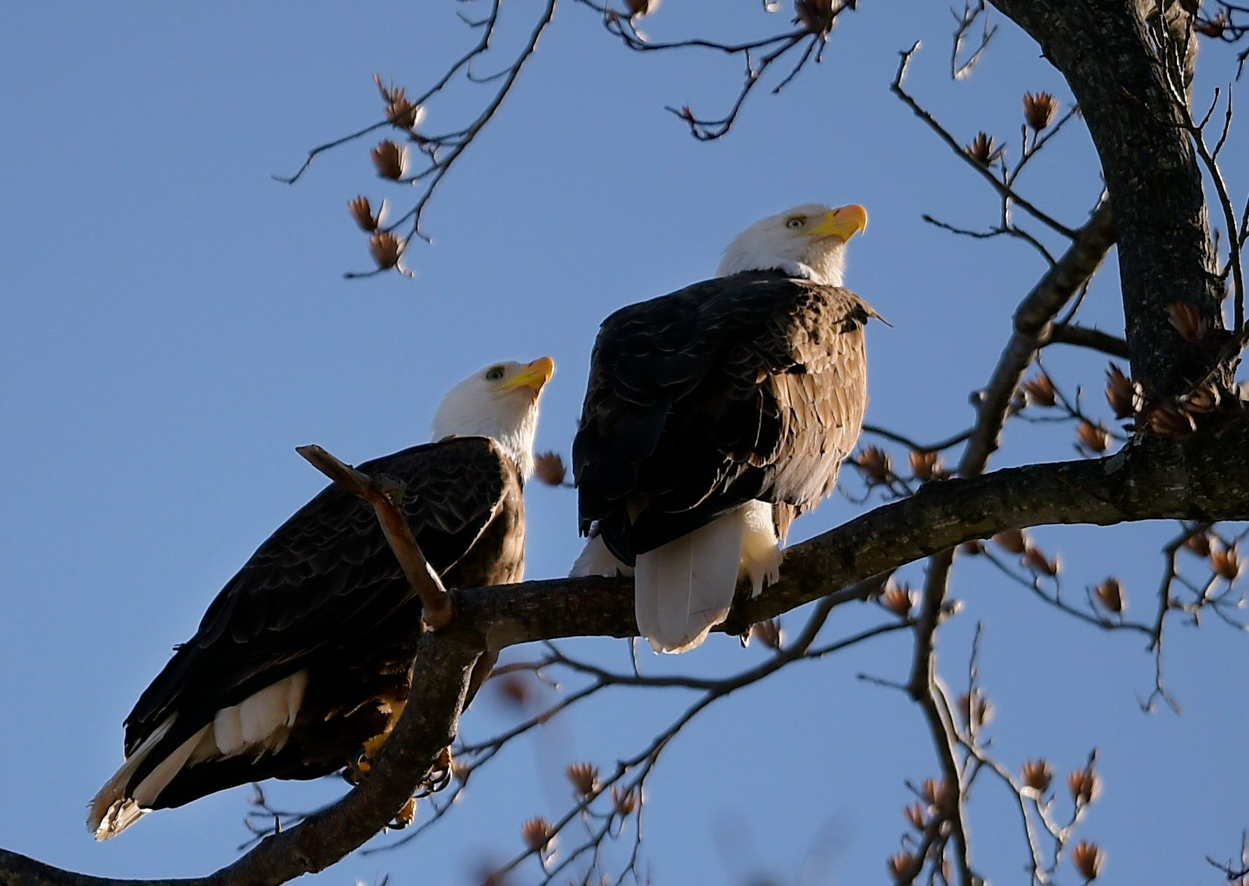 The maximum fine for harming a bald eagle is $100,000.