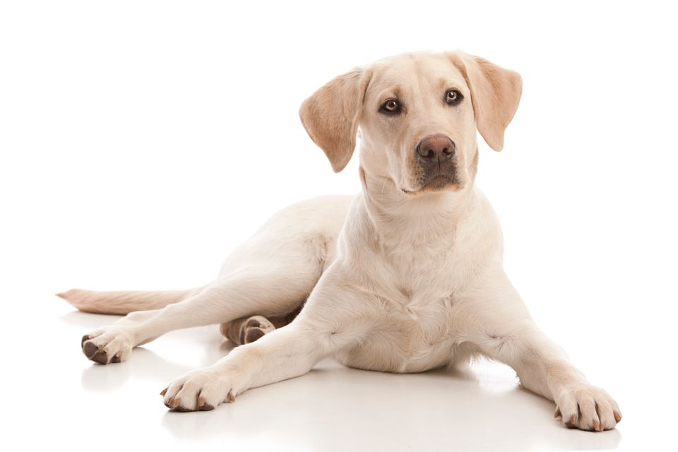 "The AKC describes Labs -- whether black, yellow or chocolate -- <a href=""http://www.akc.org/dog-breeds/labrador-ret"