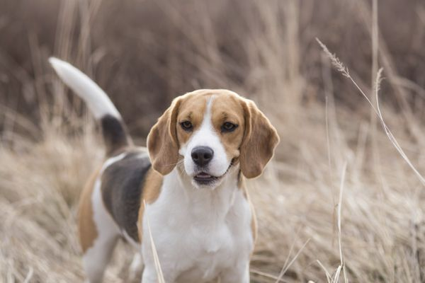 """<a href=""""http://www.akc.org/dog-breeds/beagle/"""" target=""""_blank"""">Used for hunting</a>, the beagles are scent hounds described"""