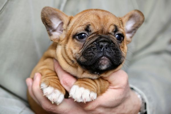 """They are <a href=""""http://www.akc.org/dog-breeds/french-bulldog/"""" target=""""_blank"""">playful, smart and adaptable</a>, according"""