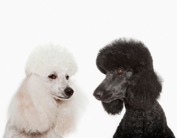 """The AKC says poodles are <a href=""""http://www.akc.org/dog-breeds/poodle/"""" target=""""_blank"""">proud, active and very smart.</a> An"""
