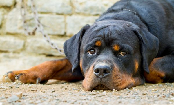 """As one of the <a href=""""http://www.akc.org/dog-breeds/rottweiler/"""" target=""""_blank"""">descendants of Roman drover dogs</a>, rotti"""