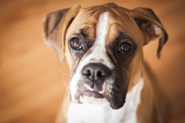 """Rounding off the top 10 are the <a href=""""http://www.akc.org/dog-breeds/boxer/"""" target=""""_blank"""">fun-loving and active boxers</"""