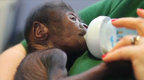 The unnamed baby gorilla, born on Feb. 12 at the Bristol Zoo, is being hand-fed by experienced gorilla keepers.