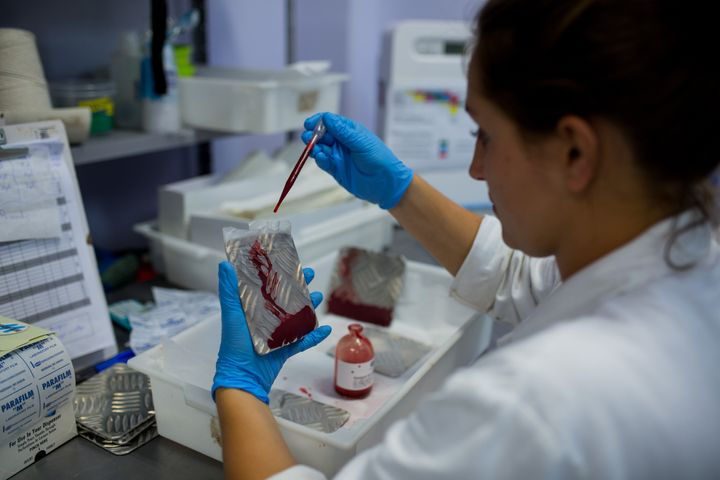 CAMPINAS, BRAZIL - FEBRUARY 11: A biologist works on putting blood on iron plates to feed the females of the nursery that produces genetically modified mosquitoes on February 11, 2016 in Campinas, Brazil. Technicians from the Oxitec laboratory located in Campinas, 100km from Sao Paulo, are releasing genetically modified mosquitoes Aedes Egypti to combat Zika virus.