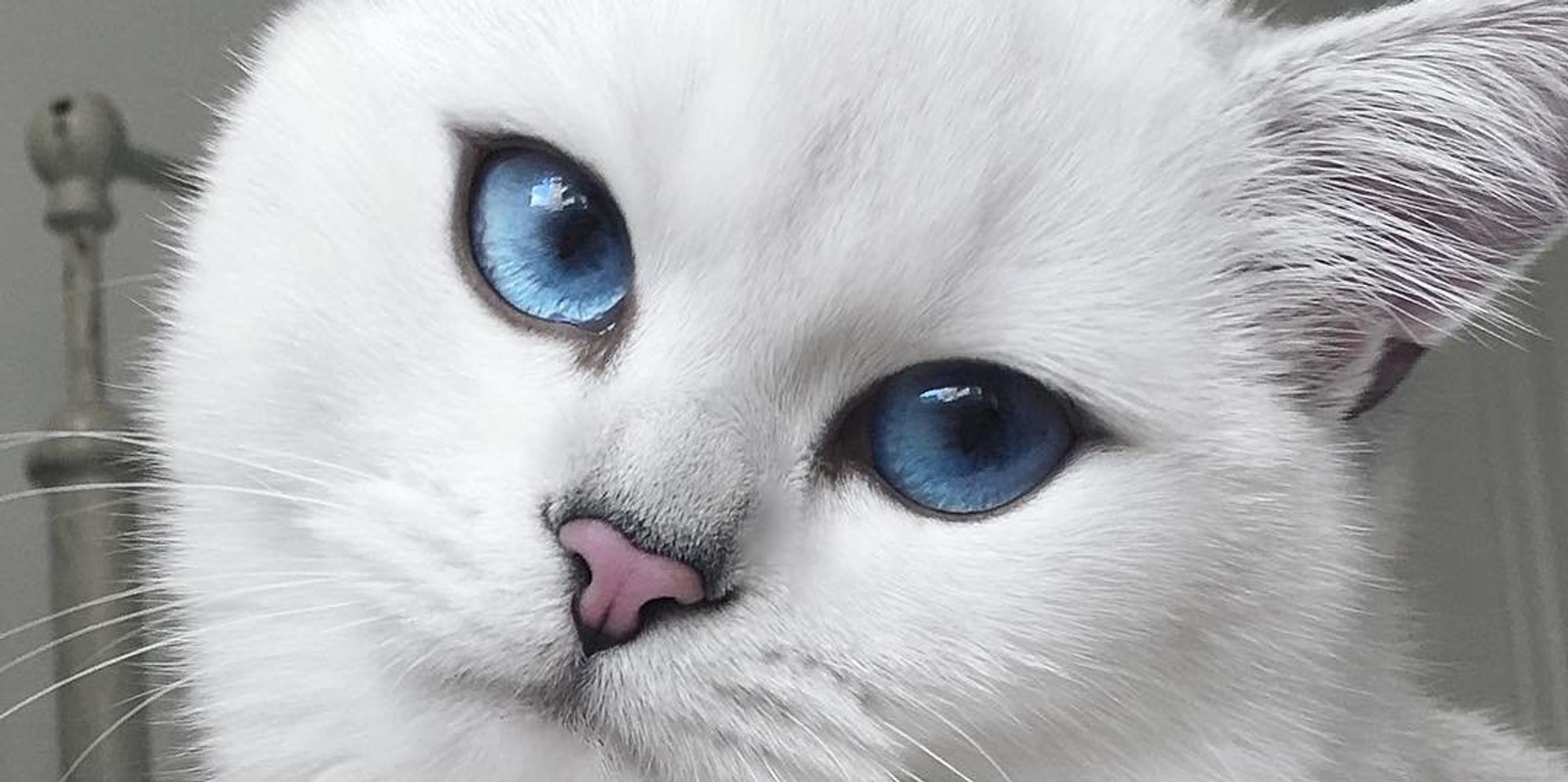 White Baby Kittens With Blue Eyes Cat With Blue E...