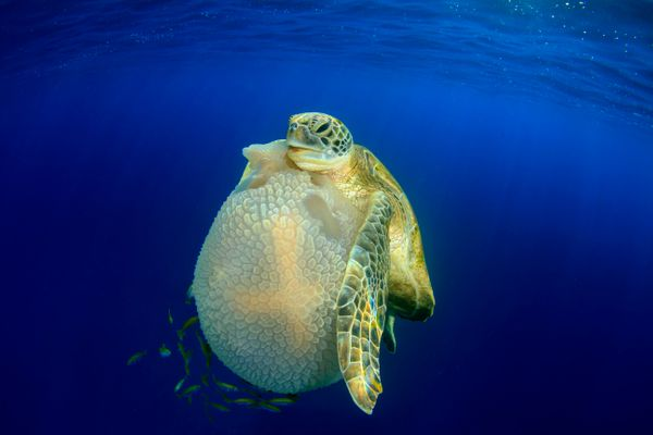 This image of a green turtle feeding on a large mosaic jellyfish won the Behavior category.