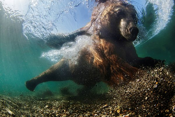 This image of the fishing behavior of a wild brown bear won the Wide Angle category.