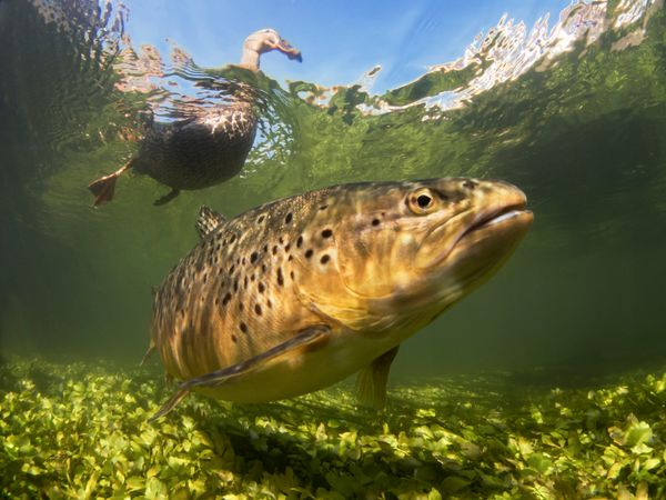 This image of a mallard duck and trout won the British Waters Compact category.