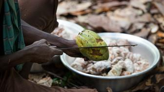 AKYEKYERE, GHANA - NOVEMBER 11: A cocoa farmer opens up a cocoa pod with a machete to extract the cocoa beans in a cocoa-producing village, on November 11, 2015 in Akyekyere, Ghana. Farmers help each other with their harvests. Child labor in the cocoa fields was a problem for generations until activists educated farmers that the children should be in school. Now most families won't let their children work on their cocoa farms except on weekends and holidays - and even then, they only help with easy chores. Most cocoa farmers are so poor they can't afford to buy chocolate. (Photo by Melanie Stetson Freeman/The Christian Science Monitor via Getty Images)