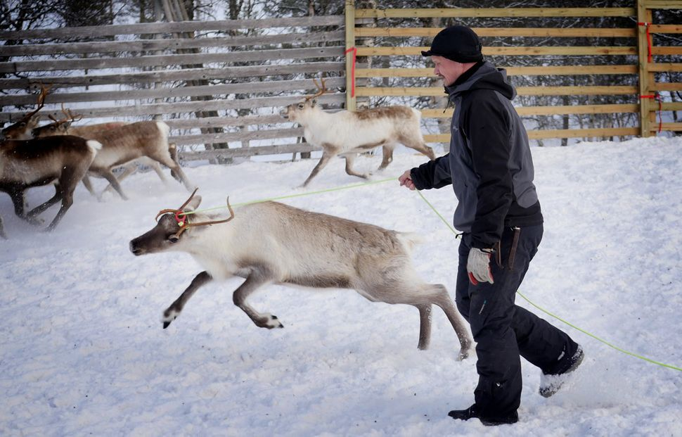 A young reindeer is selected for tagging.