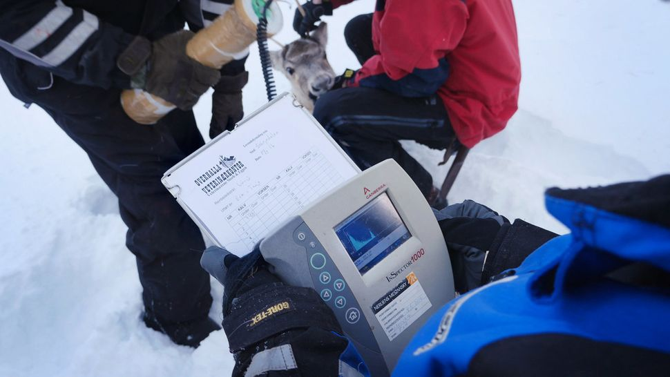 A vet's assistant reads from a device measuring the radiation in a reindeer selected for slaughter.
