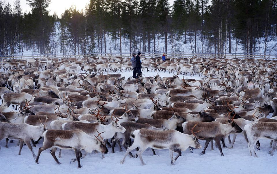 Aherd of reindeer swirl around young Sami men of Norway's central Snasa village. High levels of...