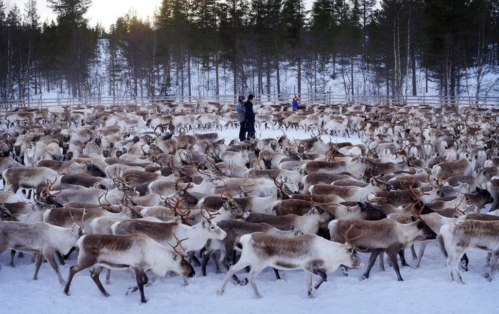 A herd of reindeer swirl around young Sami men of Norway's <strong>c</strong>entral Snasa village. High levels of radiat
