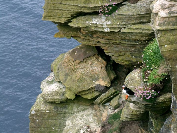 A puffin at Dunnet Head.