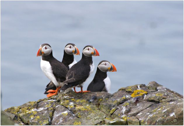 "According to the World Wildlife Federation, puffin's Latin name, Fratercula, means ""little"