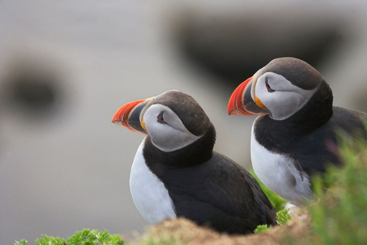 It's a good month for puffins.