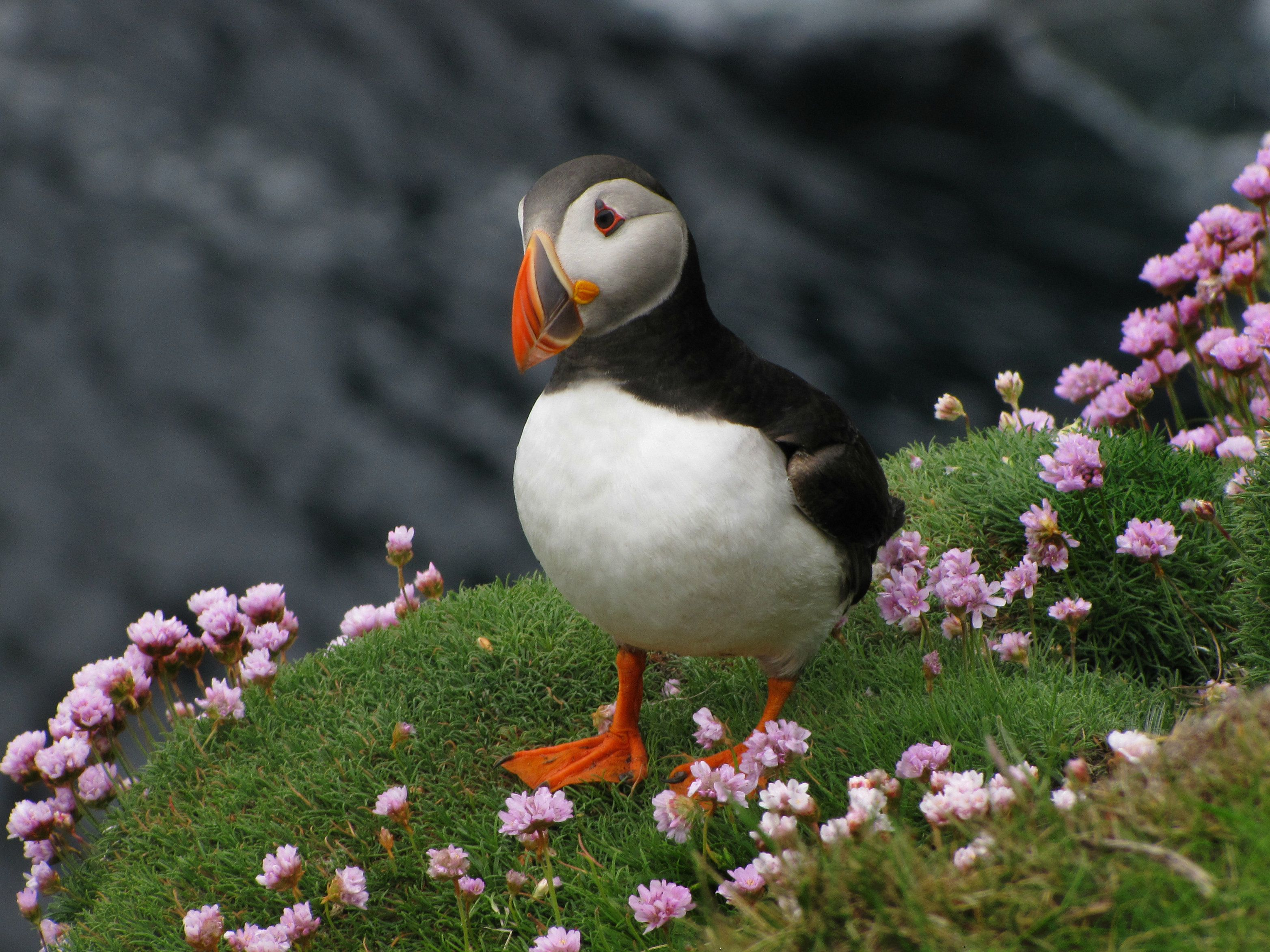 Atlantic Puffin sitting on seaside cliff amidst pink wildflowers in the Shetland Islands, part of the United Kingdom.June 2010