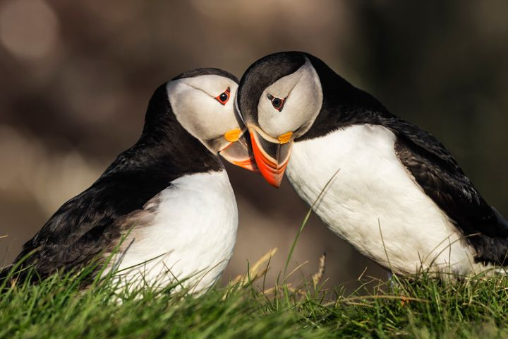 According to the World Wildlife Federation, puffins typically mate with just one partner.