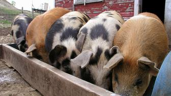 Massachusetts, Monterey, Pigs tuck in to their afternoon meal.
