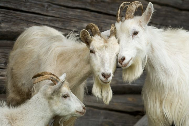 The program in Salem, Oregon, will not be renewed because the goats (not pictured) cost much more than human landscapers and smelled.