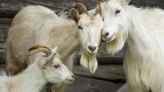 Family of goats in the village