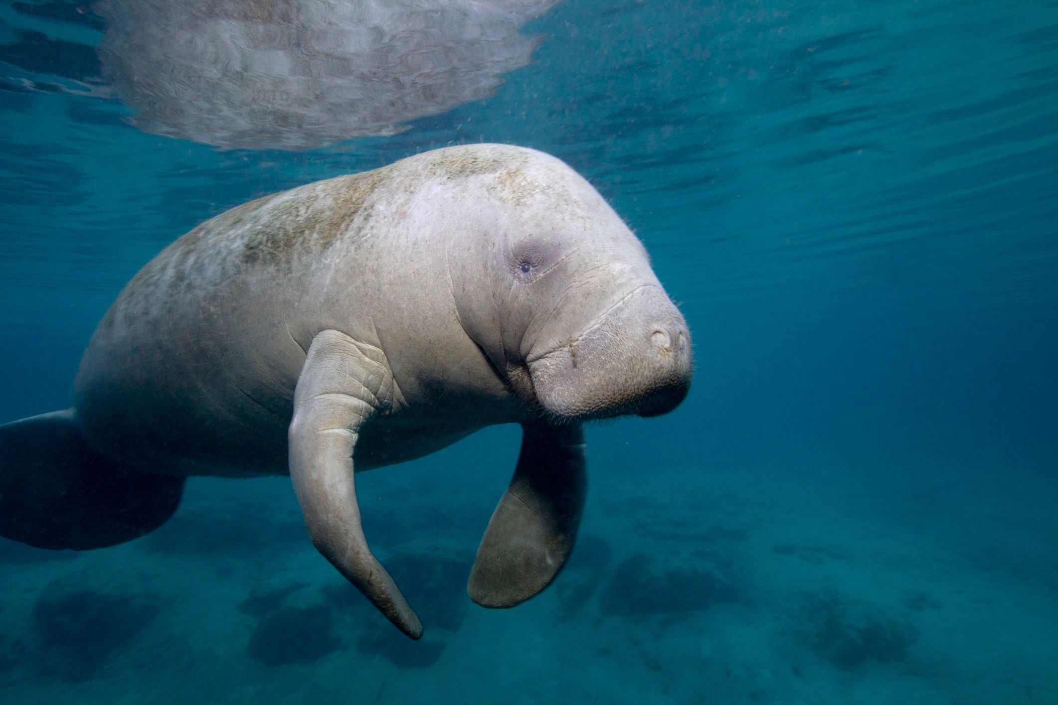 Florida Manatee (Trichechus, Trichechus Manatus), Three Sisters Spring, Crystal River, Florida