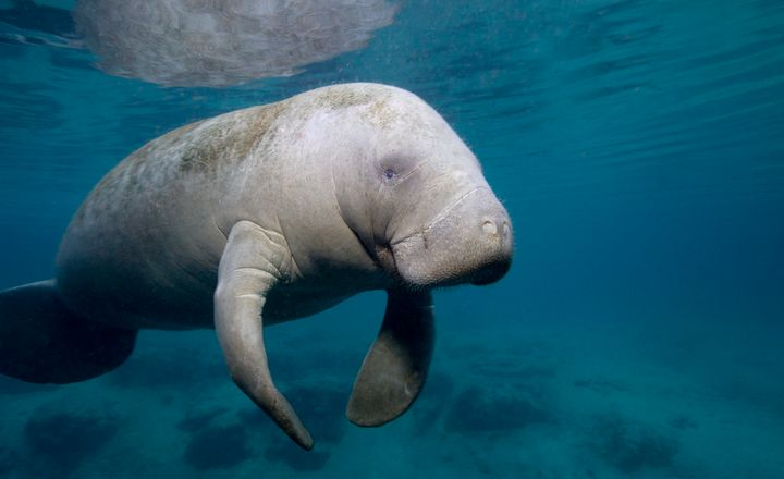 Manatee in Crystal River, Florida.