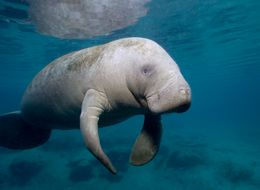 Record Manatee Count May Mean New Risks For Cuddly 'Sea Cows'