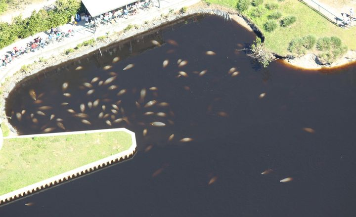 Aerial photo of manatees in FPL Fort Myers Manatee Park in Lee County, Florida.