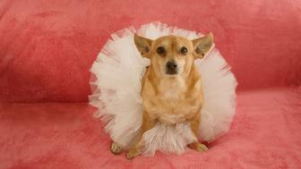 A Chihuahua posing in a tutu for the camera
