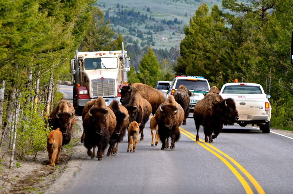 A different kind of traffic jam at Yellowstone National Park.