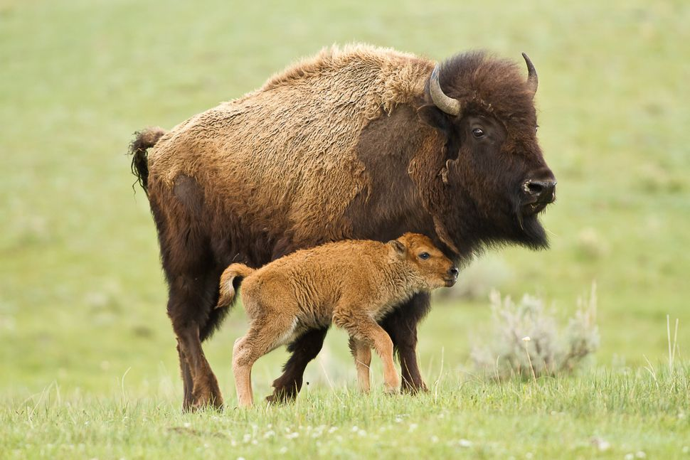 A mother bison and calf at Yellowstone National Park.