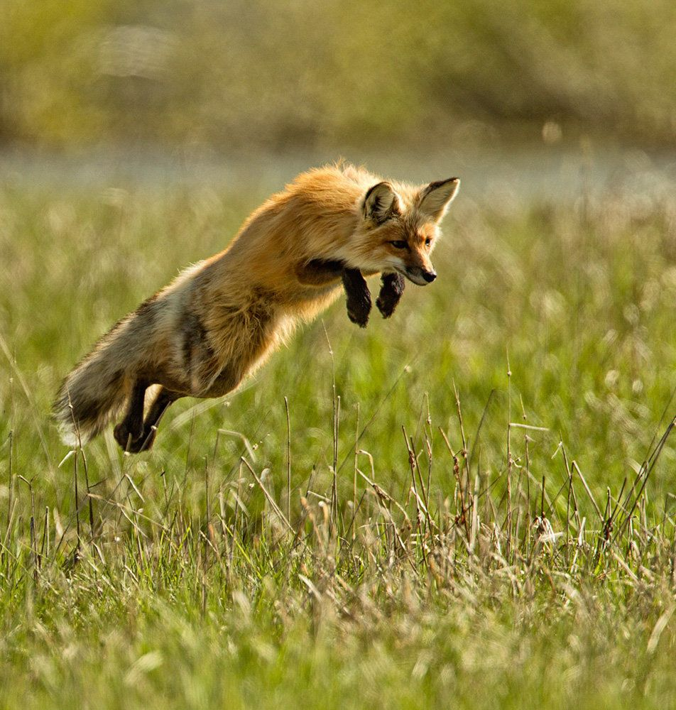 A red fox leaping for its dinner at Yellowstone National Park.