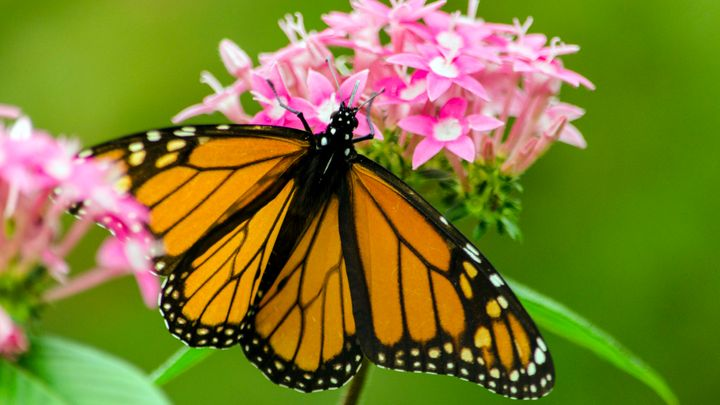 In this close up, a monarch is seen feeding on the nectar of a penta flower at the San Antonio Botanical Gardens.