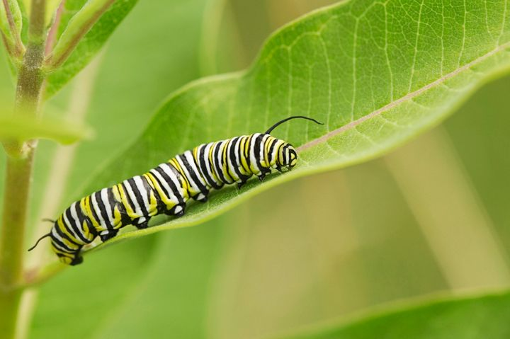 Monarch caterpillar on milkweed leaf.