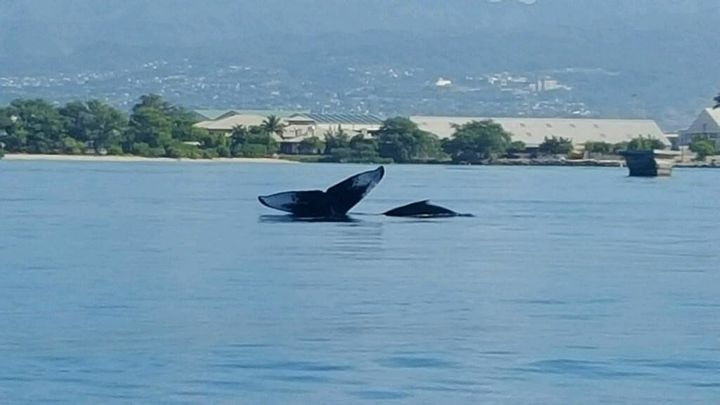A humpback whale and her calf swim in waters near the entrance to Pearl Harbor in Honolulu, Hawaii.