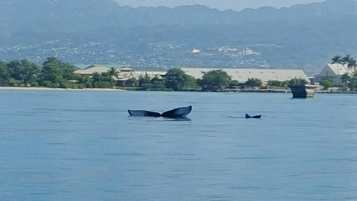 Momma and baby whale tailsspotted at Pearl Harbor.