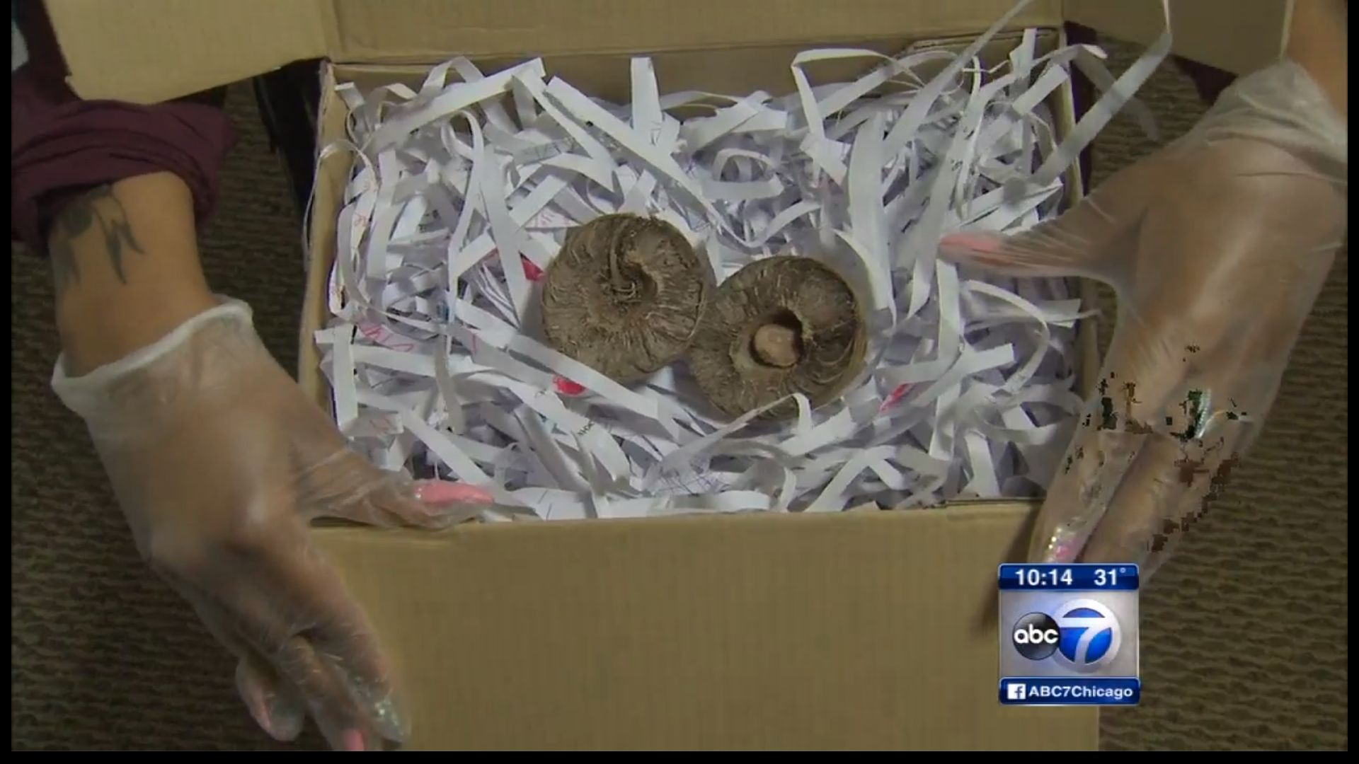 "This is part of the ""pong pong"" seed that was delivered to a Chicago family's home from Thailand. A mother says the seed"