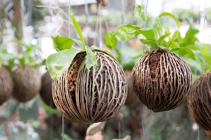 "Pong pong seeds, which grow from cerbera odollam or ""suicide trees,"" can be purchased online as decorative ite"