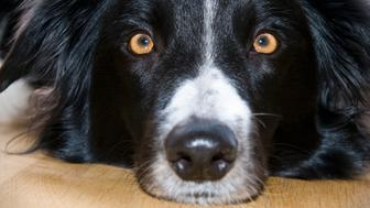 Close-up of Border Collie dog