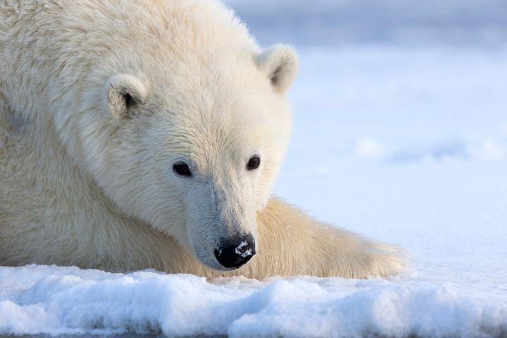An Alaskan polar bear.