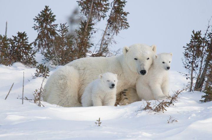 Mother polar bear with cubs.