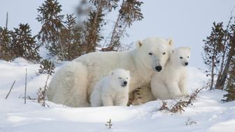 Polar Bear (Ursus maritimus) mother and cubs of the western Hudson Bay population recently out of the den, Manitoba, Canada