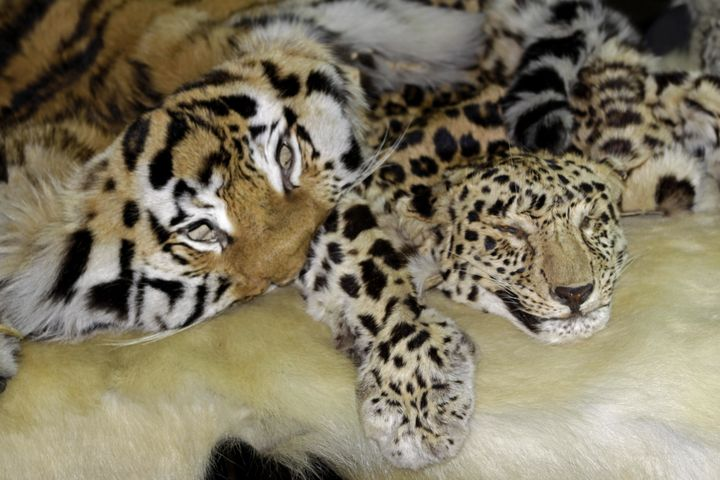 Skins of Amur tigers and Amur leopards confiscated in Russia.