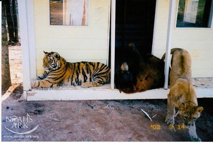 All of them almost 1 year old, Shere Khan, Baloo and Leo hang out on the front porch in 2002.