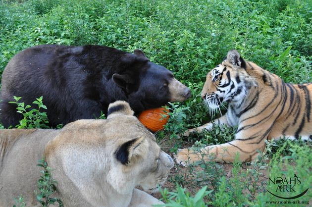 How A Lion, Tiger And Bear Became Ride-Or-Die Friends   HuffPost