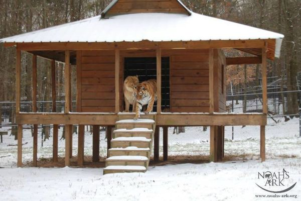 How a lion tiger and bear became ride or die friends - Herreria ark ...