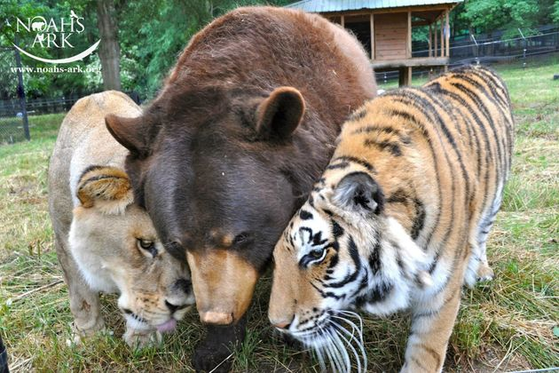 How A Lion, Tiger And Bear Became Ride-Or-Die Friends | HuffPost